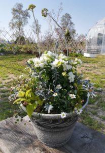 ペチュニアガザニア ブラッキカムギャザリング- fleur-éフルーレ