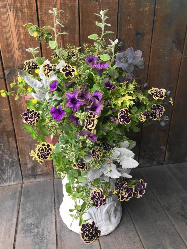 玄関、鉢植えペチュニア黒真珠綱木紋ーフルーレ