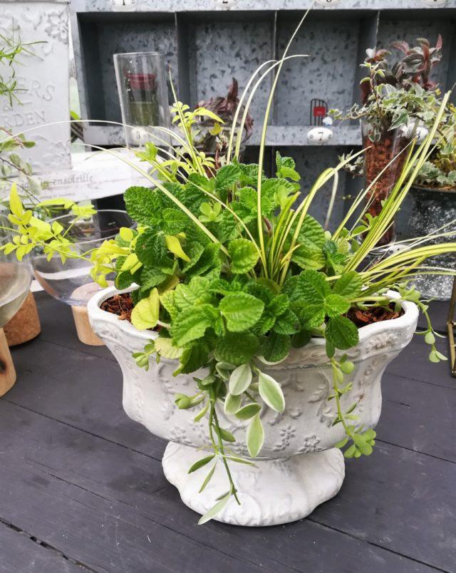 ピレア観葉植物ギャザリング-フルーレfleur-é