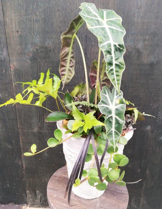 観葉植物メルツローズポット-フルーレfleur-é