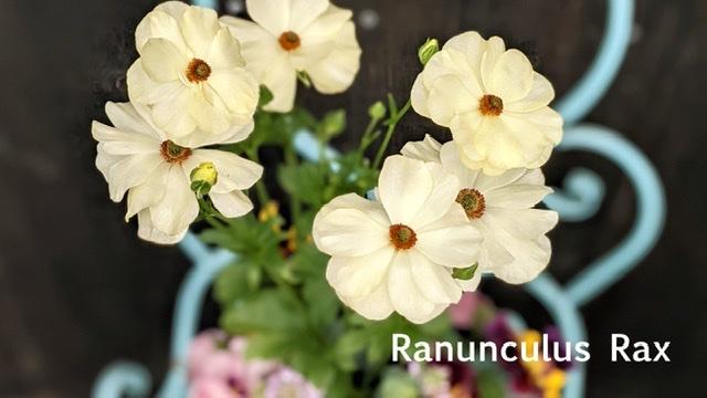 ラナンキュラスラックス寄せ植え-フルーレfleur-é