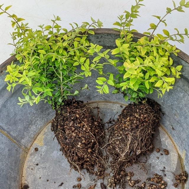 ロニセラ2芽植え-フルーレfleur-é